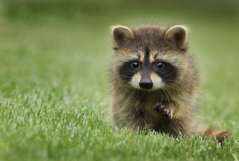 Raccoon stealer, el programa malicioso que trata de obtener tus datos y los de tu empresa