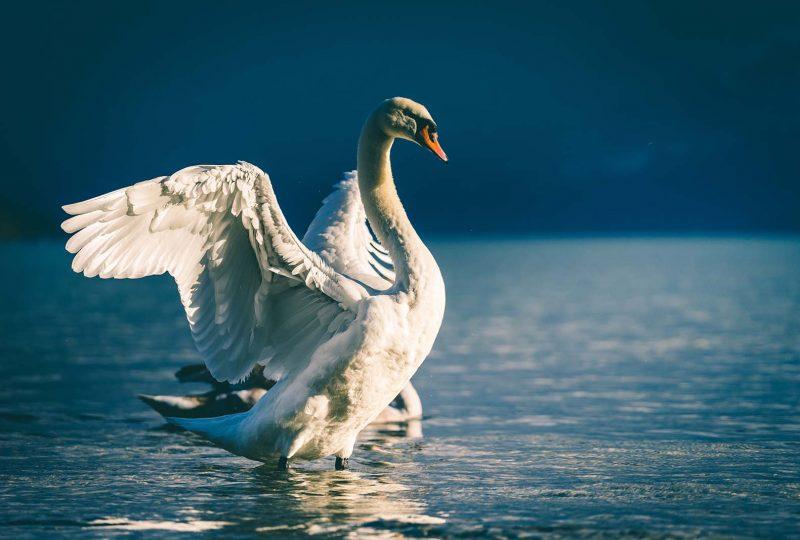 qué es un cisne verde o un cisne negro climático